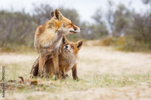 Photo  Red fox. Vixen with cub