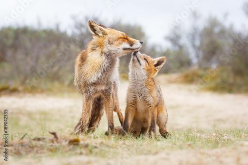 Fotografie, Tablou  Red fox. Vixen with cub