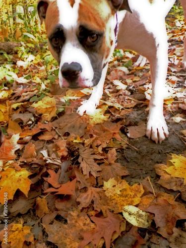Photo American Bull Dog Matilda