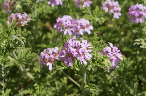 Scented-leaved pelargonium in full blossom, selective focus on the central flower