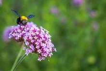 Purple Verbena Tiny Flowers Wi...