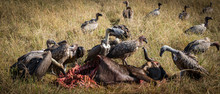 Vulture Eating Wildebeest