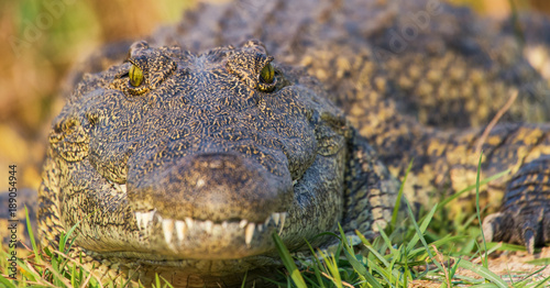 Photo Stands Asia Country African crocodile