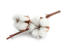 Cotton White Dry Flower Two Bu...