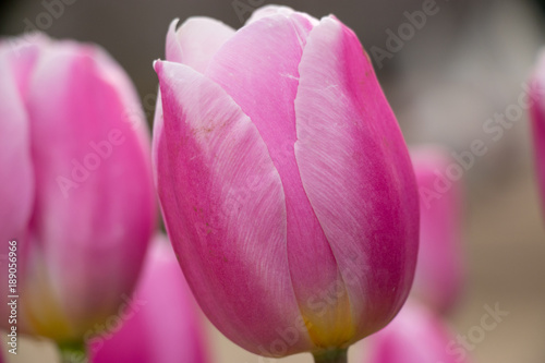 In de dag Roze Fast blooming ice tulip
