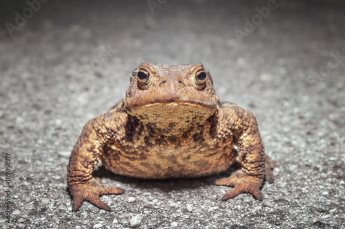 closeup of toad on the road buy this stock photo and explore