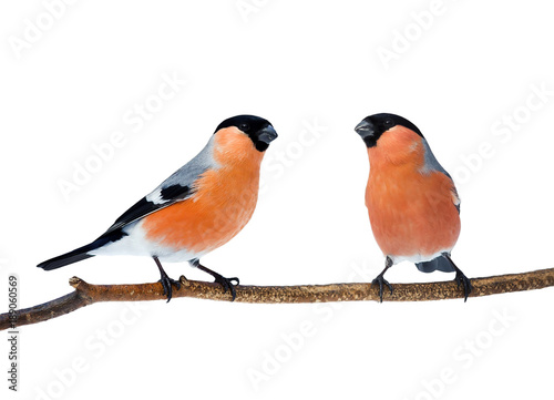 Photo  a couple of bright red birds bullfinches sitting on the branch isolated on white