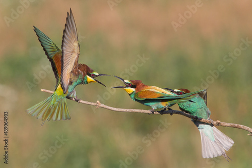 Valokuva  Fighting european bee-eaters (Merops apiaster), Po Valley, Italy