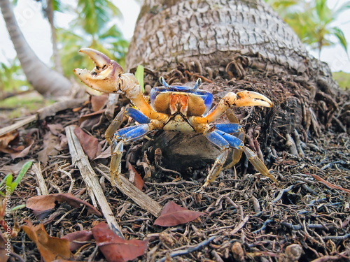 A blue land crab, Cardisoma guanhumi, at the foot of a coconut tree trunk, Caribbean, Panama