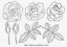 Rose Vector Set By Hand Drawin...