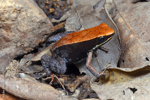 Canvas Prints Frog Madagaskar-Buntfrosch (Mantella betsileo) - Brown mantella / Lokobe National park / Nosy Be / Madagaskar