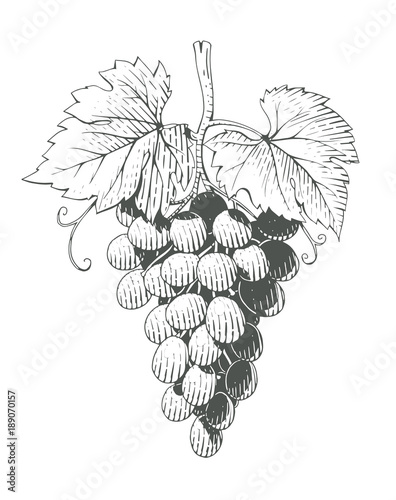 Grapes. Bunch of Berrys in engraving style. Vegetarian healthy Fototapete