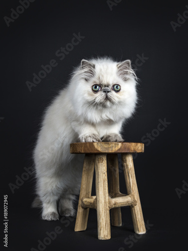 Fabulous Persian Longhair Cat Kitten Standing With Front Paws On Inzonedesignstudio Interior Chair Design Inzonedesignstudiocom