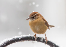 Carolina Wren With Falling Snow