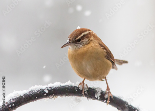 Fotografie, Obraz  Carolina Wren with Falling Snow