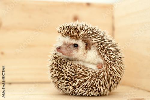 Fotografie, Obraz  Hedgehog