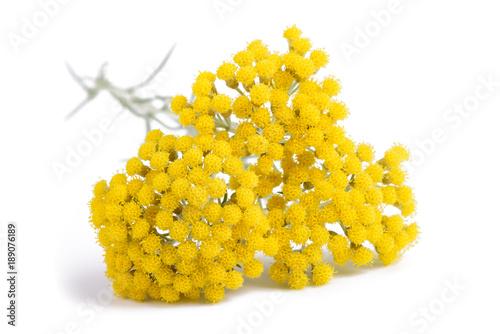 Fotografia  Yellow helichrysum flowers