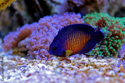 Coral Beauty Angelfish (Centropyge bispinosa) Canvas Print