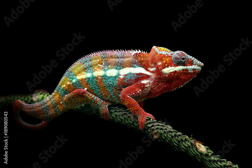 Close up panther chameleon sitting on branch against black background