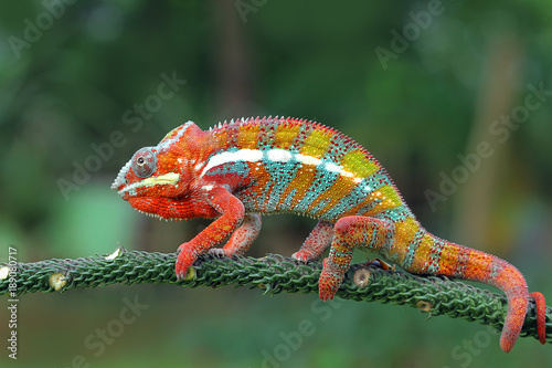 Close up panther chameleon sitting on tree branch