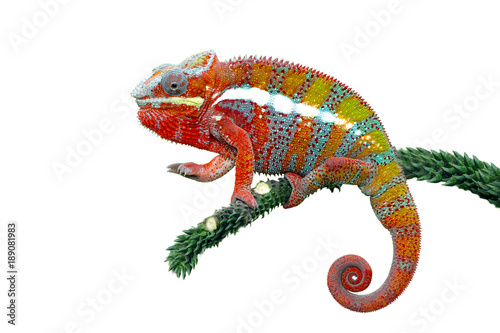Panther chameleon sitting on branch against white background