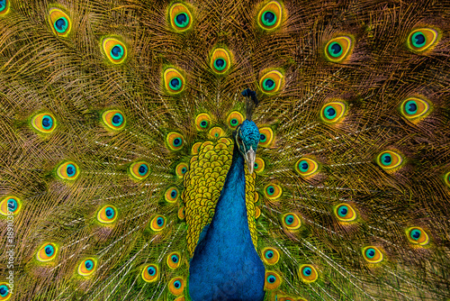 Foto op Canvas Pauw Peacock
