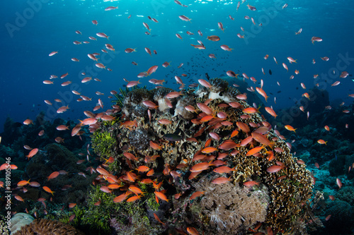 Foto op Canvas Onder water Colorful Anthias and Coral Reef in Alor