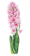Watercolor Pink Hyacinth Flowe...