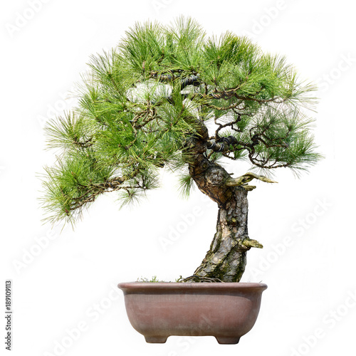 Tuinposter Bonsai Pine Bonsai Isolated on White Background
