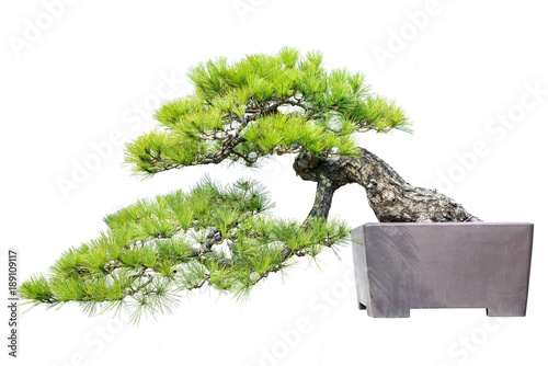 Wall Murals Bonsai Pine Bonsai Isolated on White Background