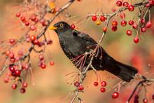 Male European Blackbird  Feedi...