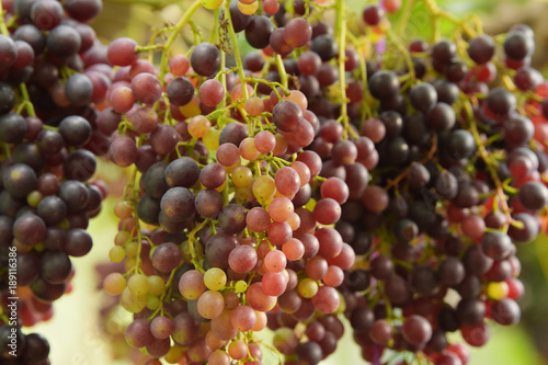 Red ripe grapes in the garden