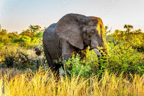 Photo Stands Elephant Large Elephant Bull at sunset in Kruger National Park in South Africa