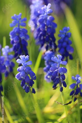 muscari-neglectum-muscari-kwiat-w-zielonej-trawie-pierwsze-wiosenne-kwiaty