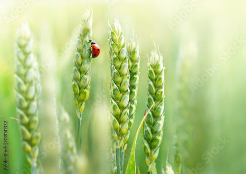 Türaufkleber Makrofotografie Young juicy fresh green wheat ears spikes and a ladybug on nature close-up macro. Beautiful texture of young wheat spikelets.