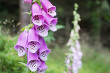 Digitalis Purpurea Flower In The Nature