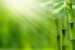bambus in der frühlingssonne