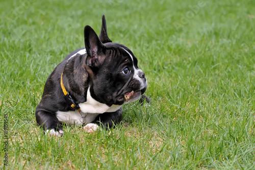 Deurstickers Franse bulldog französische bulldogge im garten