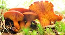 Omphalotus Olearius Mushroom