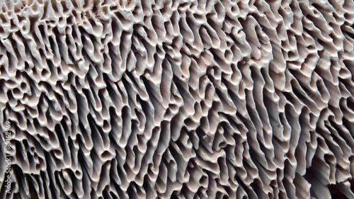 Fototapeta gills of mushroom, lenzites