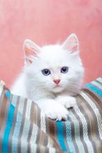 Siberian Kitten At Home