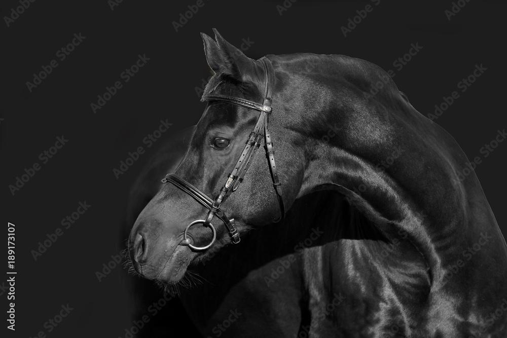 hengst portrait stallion schwarz black