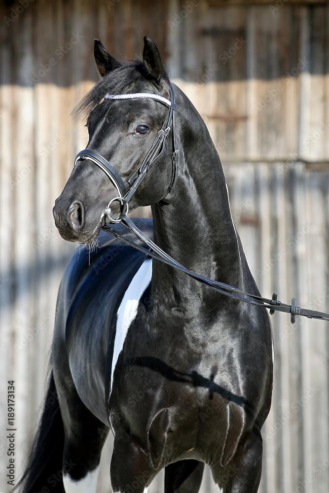 hengst portrait stallion schwarz weiß