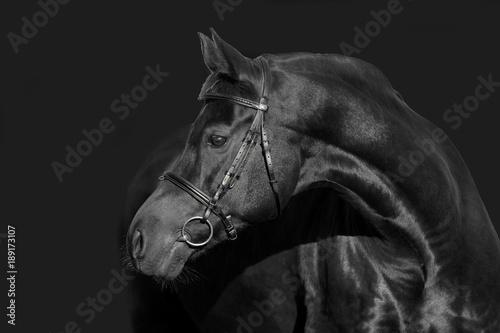 Fototapety, obrazy: hengst portrait stallion schwarz black