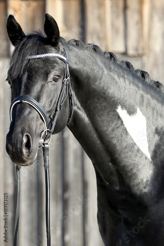 Fototapety, obrazy: hengst portrait stallion schwarz weiß