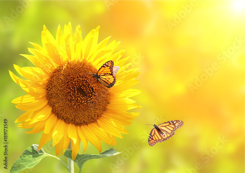 In de dag Zonnebloem Sunflower and monarch butterflies on blurred sunny background