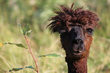 Brown Alpaca Looking Straight.