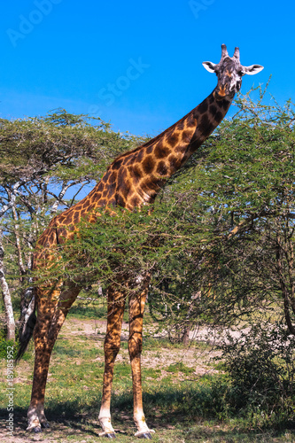 Fényképezés  Giraffe in Serengeti savanna near a acacia. Tanzania, Africa