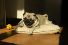 Dog Breed Pug On Pillow