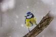 canvas print picture - Blaumeise im Schnee